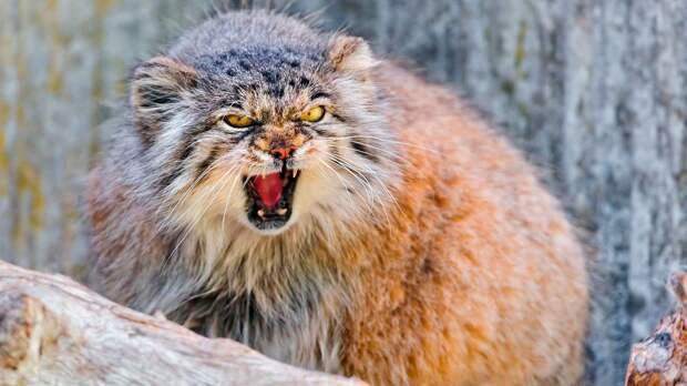 Манул - животное не агрессивное