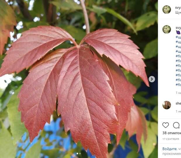 Фото дня: девичий виноград в Щукине