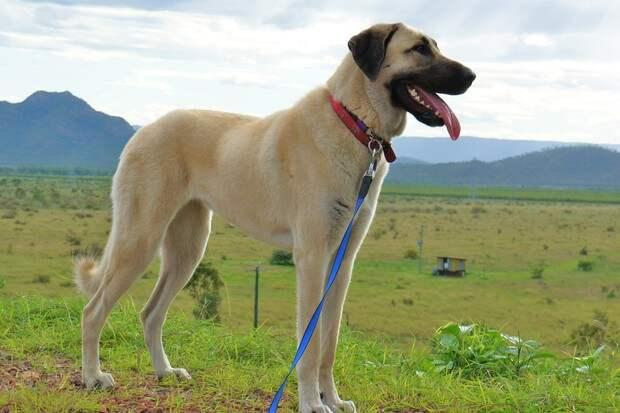 Какие громадины! 15 пород самых больших собак