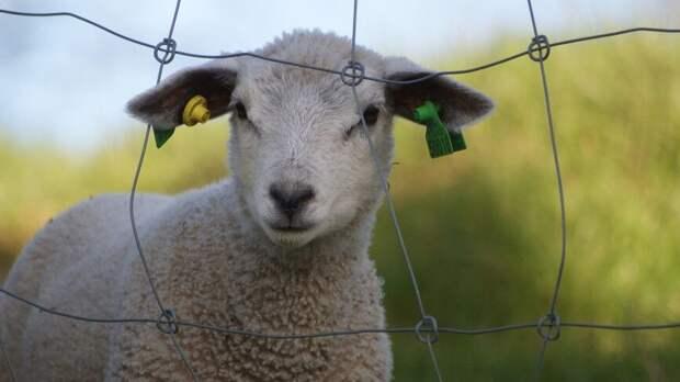 Бесстрашный ягненок взбунтовался против пастушьей собаки в Нидерландах