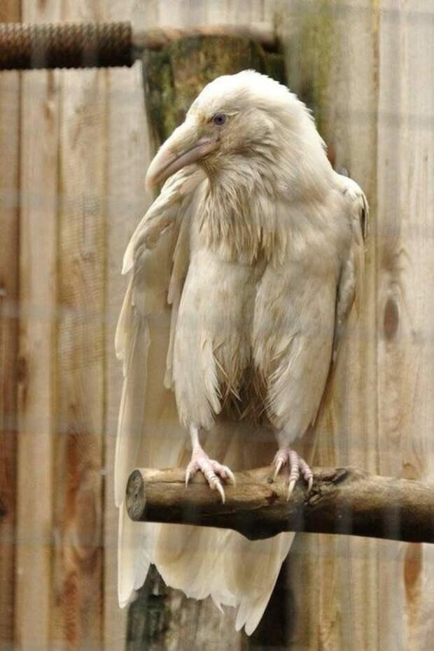 9. Ворон альбиносы, животные, красота, окрас, цвет