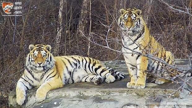 Амурские тигры загрызли несколько животных в Хабаровском крае