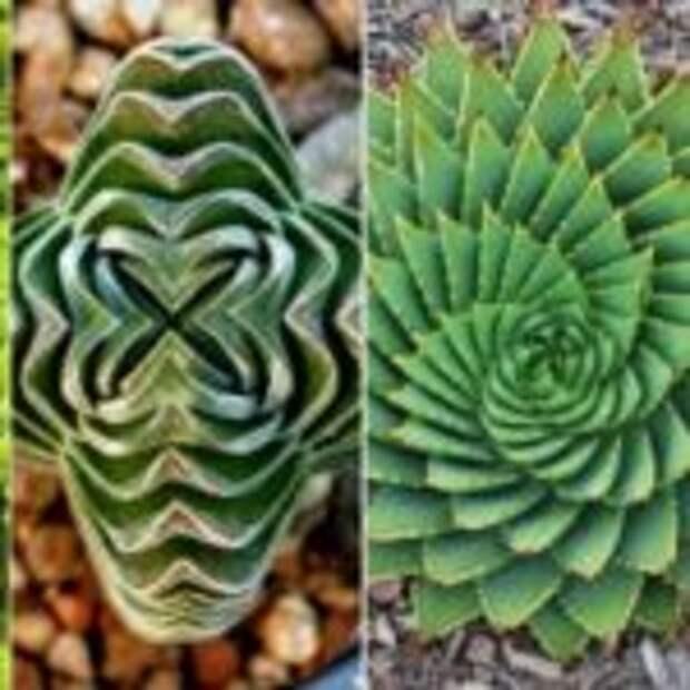 Райский сад перфекциониста: геометрия растений