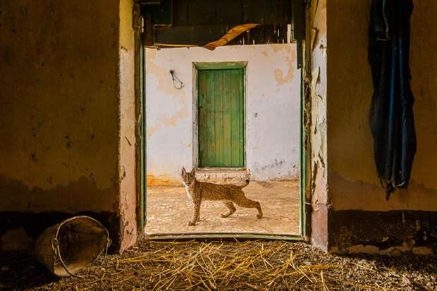 Рысь на пороге. / Фото: Серхио Мариуана (Испания)