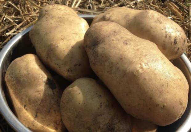 Ведро крупной картошки с одного куста: выращиваем под соломой