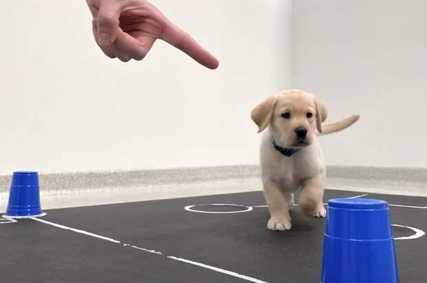 Собаки оказались с рождения запрограммированы на общение с людьми