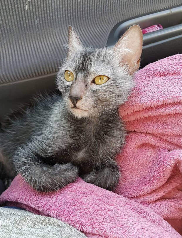Ликой породистый котёнок запрыгнул ко мне в машину, глядя на него мне хотелось бросить автомобиль на дороге