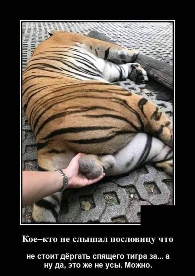 Демотиватор про тигра