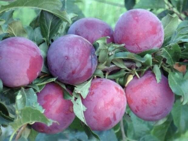Самоплодная алыча сорта для разных регионов