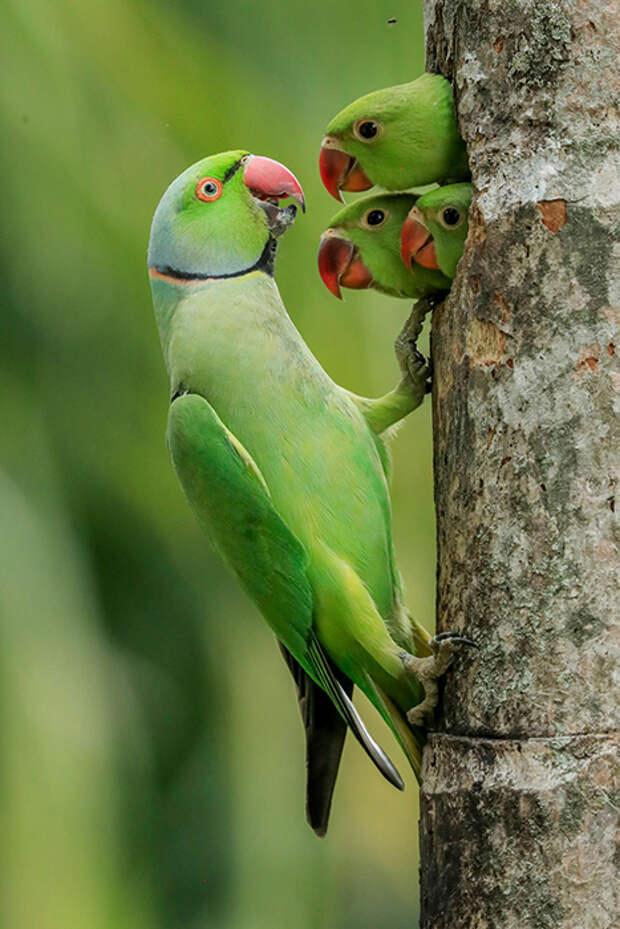 Птенцы. / Фото: Гагана Мендис Викрамасингхе (Шри-Ланка)