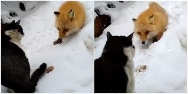 Хитрая лисичка всё же забрала у кота корочку хлеба видео, дикие животные, животные, кот, кошка, лиса, прикол, юмор