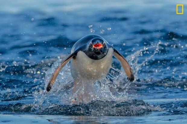 Субантарктический пингвин, преследуемый морским леопардом (Фото: Клайв Бивис) national geographic, животные, конкурс, конкурсант, путешествие, фотография, фотомир