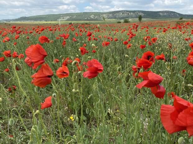 Маковые поля в Крыму: когда цветут, где находятся, как доехать, координаты