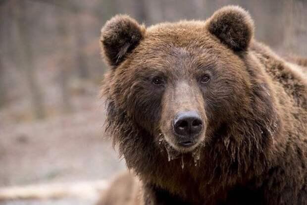 В подмосковных Мытищах ищут медведя, сбежавшего из частного гольф-клуба