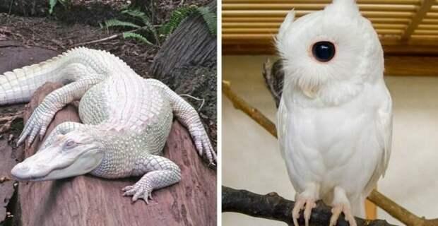 12 уникальных животных-альбиносов, которых вы никогда не видели раньше альбиносы, животные, красота, окрас, цвет