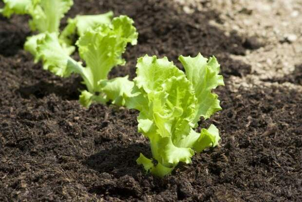 Листовой салат на грядке