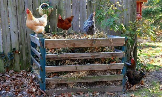 Удобряем куриным пометом деревья и кустарники