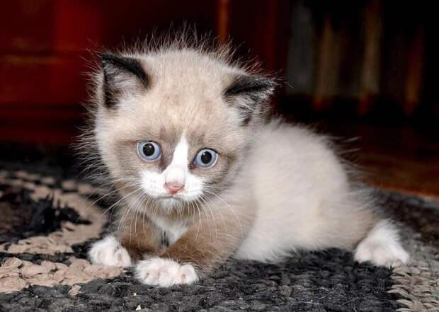 Котёнок породы сноу-шу находился в подвале более шести дней, пока добрые люди не помогли ему оттуда выбраться