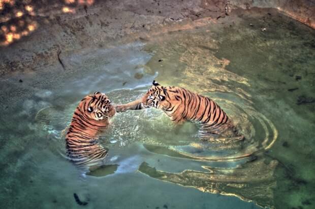 В отличие от большинства кошачьих, тигры любят резвиться в воде. Они получают большое удовольствие от купания и могут просидеть в воде несколько часов