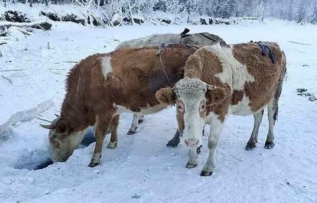 ВЯкутии из-за сильных морозов шьют меховые лифчики для коров
