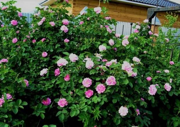 Как создать быстрорастущую многолетнюю живую изгородь на даче?
