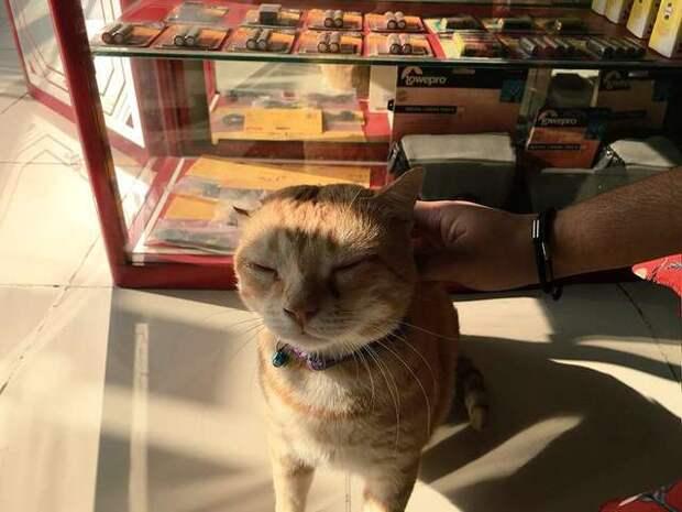 рыжего кота гладят
