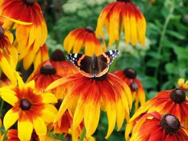 Огромная палитра окраски цветков от нежно — лимонного, желтого, до глубокого оранжевого и шоколадно-коричневого оттенка, позволяют создавать неповторимые цветочные композиции
