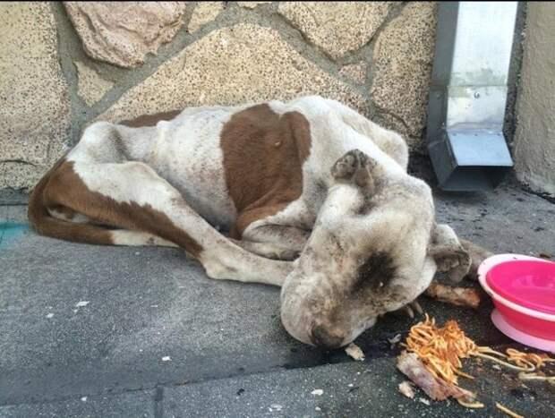Собака была найдена лежащей на тротуаре на грани жизни и смерти
