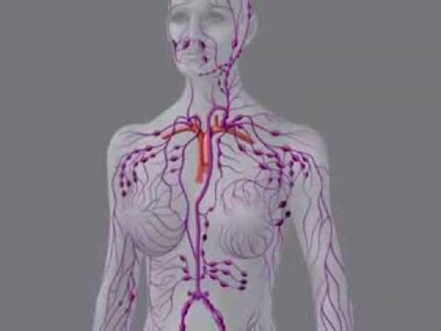 Что мы еще не знаем о лимфатической системе
