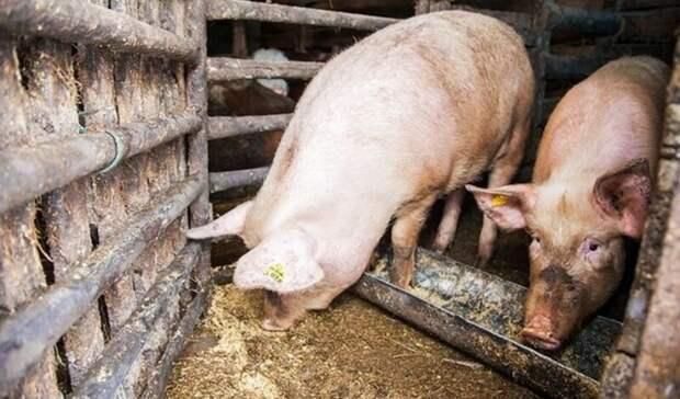 В пяти районах Оренбуржья сняли карантин по африканской чуме свиней