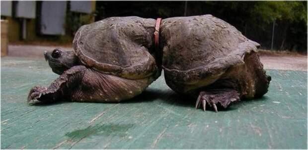 12 невероятных фактов, которые скрывают черепахи под своим панцирем животные, факты, черепаха