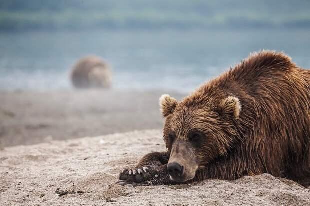 Бурый медведь © Михаил Коростелев