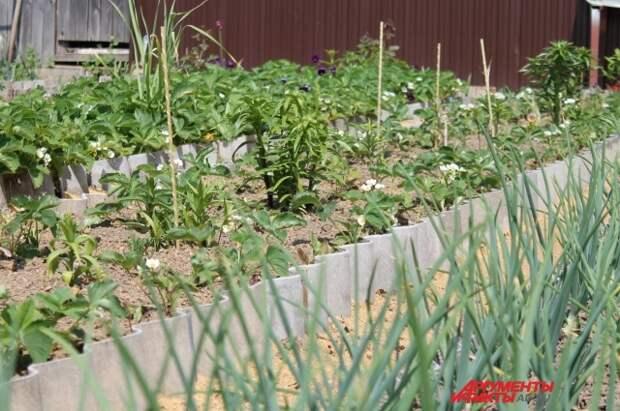 На грядках соседствуют цветы и овощи