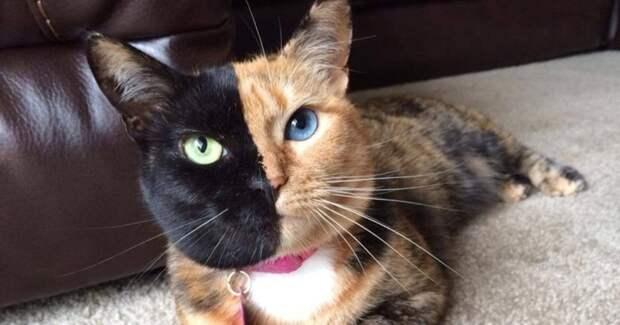 Двуликая кошка Венера животные, интересно, коты, кошки, питомцы, подборка, топ