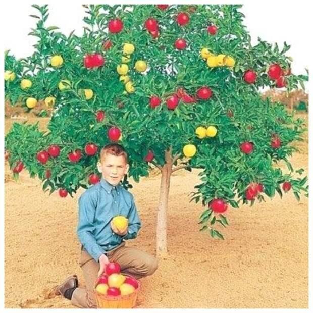 По мнению специалистов лучше всего прививать косточковые к косточковым, семечковые к семечковым Фабрика идей, дерево-сад, интересное, растения, садоводство, факты