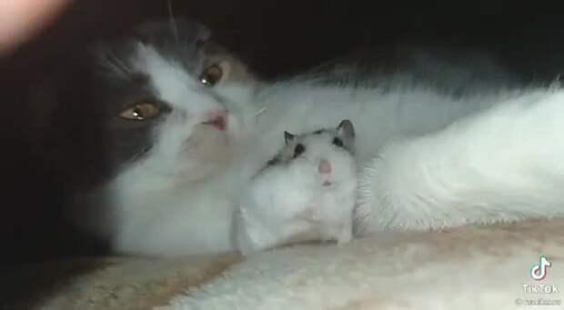 «Сам виноват»: испугавшийся зевающей кошки хомяк заставил Сеть хохотать