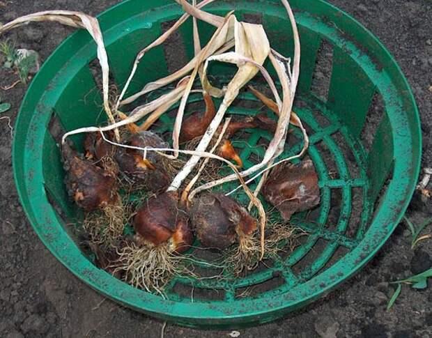 Когда и как выкапывать луковицы тюльпанов после цветения летом