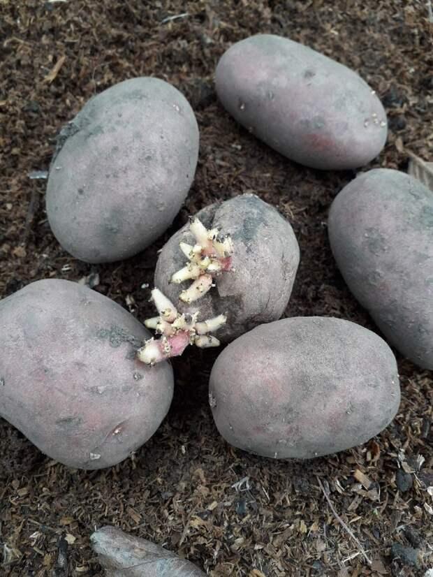 Отдала соседям мелкую и дряблую семенную картошку. Вырос шикарный урожай