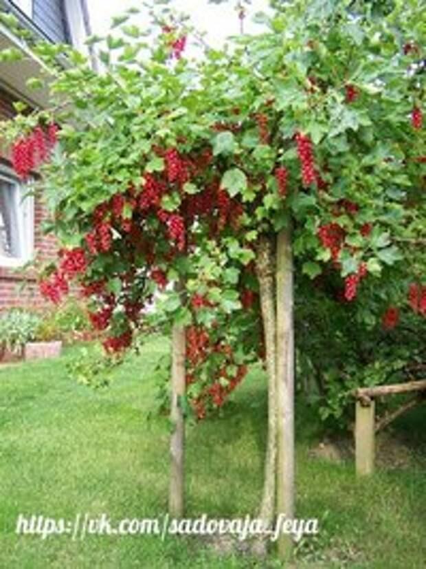 Новый способ выращивания кустов смородины, крыжовника и других...