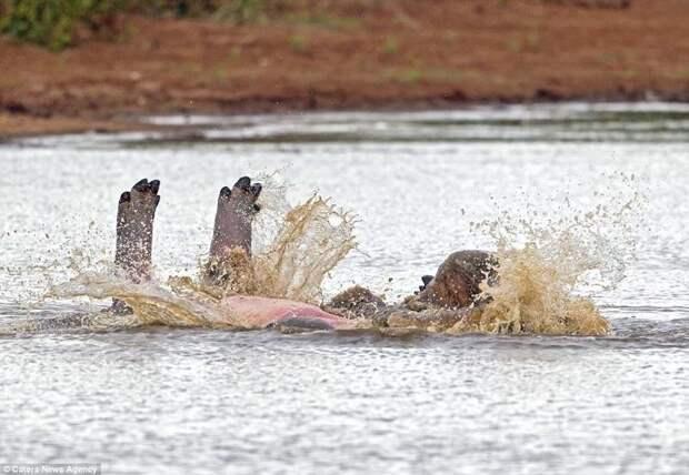 Ноги вверх! И кто сказал, что бегемоты не грациозны? бегемот, гиппопотам, дикая природа, животные, забавно, природа, редкие кадры, фото
