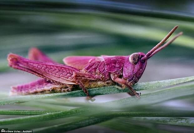 Загадка розовых кузнечиков не дает покоя ученым