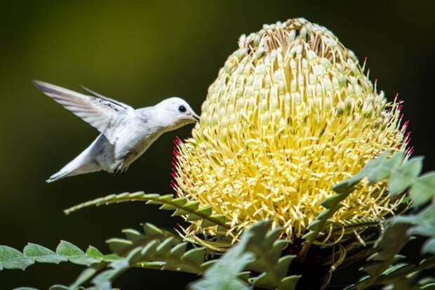 Фотограф заснял редкую белую крошку колибри