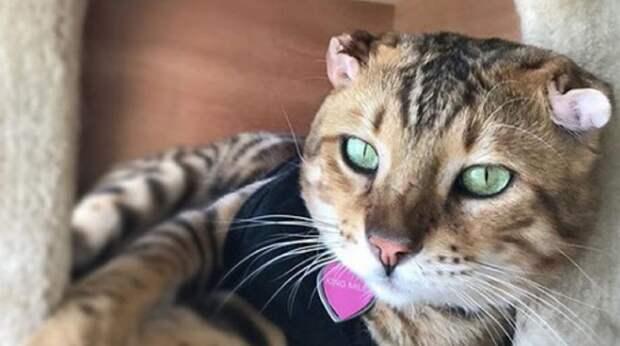 Больной кот превратился в счастливого питомца, вот только «на память» о болезни остались странные ушки