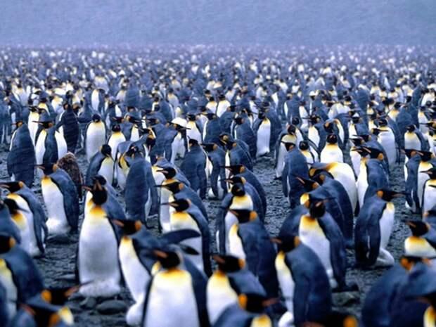 Императорский-пингвин-Описание-и-образ-жизни-императорского-пингвина-1