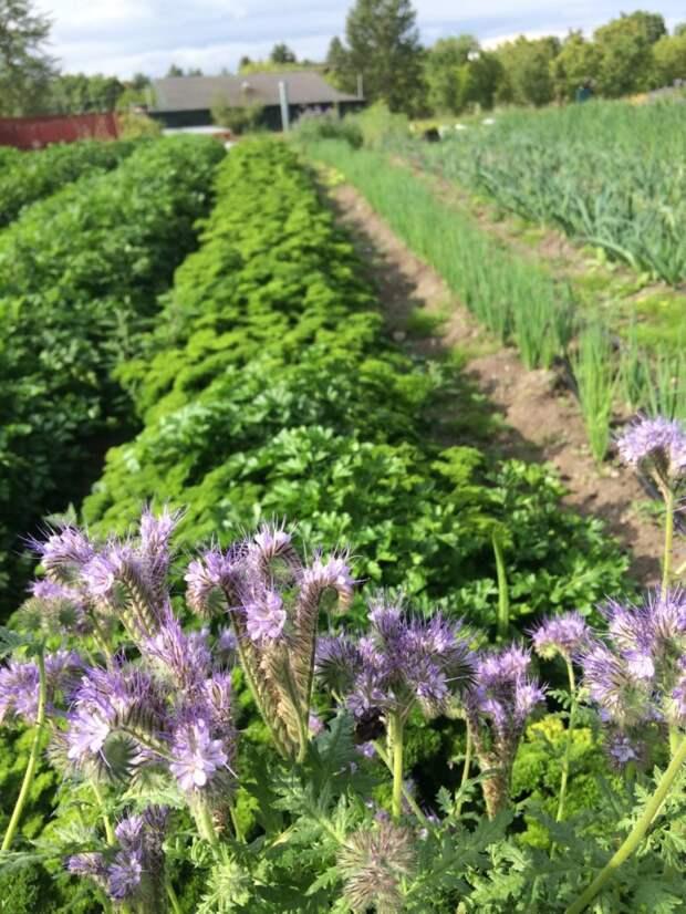 Позаботьтесь о будущем урожае клубники в сентябре. Посейте важный и нужный сидерат