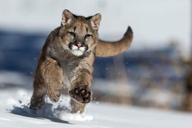 Самые опасные кошки Америки или милые звери: вся правда о пумах