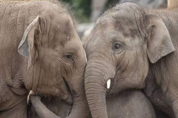 6 удивительных фактов о слонах и слонятах