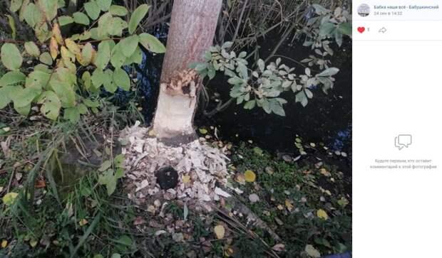 Фото дня: бобры отобедали древесиной на Яузе
