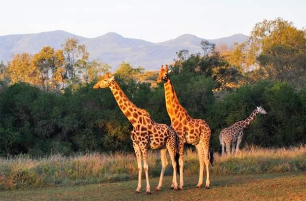 Фото жирафа Ротшильда