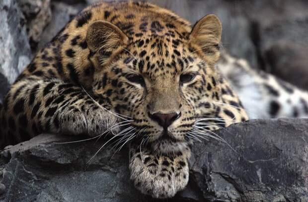 Дальневосточный леопард © Василий Солкин